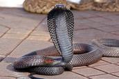 Moroccan Cobra