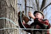 How much money does canada make from maple syrup farming