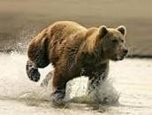 Brown bear-Urus arctos