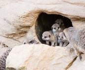 Meerkats Live Underground