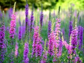 Purple Loostrife, beautiful but bossy
