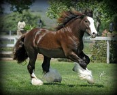 Important information of the clydesdale