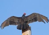Turkey Vulture Calls