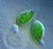 Two Euglena