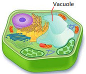 What the Vacuole Does