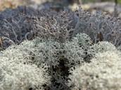 Caribou Moss