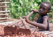 Child gathering cocoa beans in Ghana