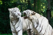 KOREAN TIGERS