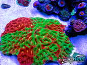 $300.00 of Coral From LRO