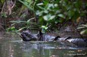 A Javan Rhino swimming or taking a bath.