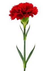 Carnation Sale starts January 26, 2016