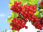 Як порость виноградної лози, плекайте мову.