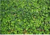 Clovers (Trifolium)