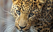 Monitoring Amur Leopards in the Russian Far East