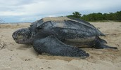 Mother Leatherback laying her eggs.