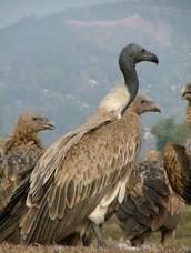 Critically Endangered Species: Slender-billed Vulture