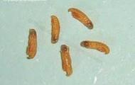 Praying Mantis Larva
