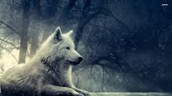 Fully White Gray Wolf