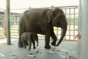 This elephant was nursed throughout her pregnancy , and now the baby and mom are watched over in case either get sick or need anything they can't provide themselves.