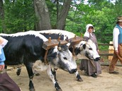 stable boy with oxen