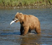 What do Brown Bear eat?