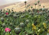 Opium;