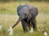 Baby elephant with ducks