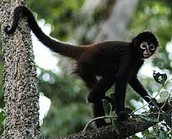Facts about Black Spider Monkeys
