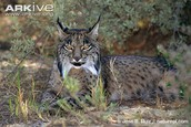 Iberian Lynx where they live Save these amazing animals