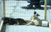 Two dogs with rabies showing signs of depression