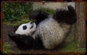 panda playing in the mud