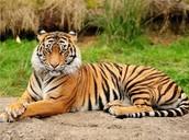 The Thisland Tiger