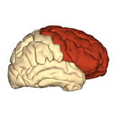 The Cerebrum