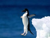 This is a adelie penguin trying to be being le'veon bell