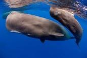 Help us save Sperm Whales