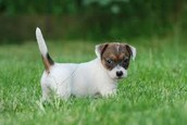 Here is a jack Russel terrier