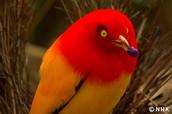 Bowerbird courtship dance