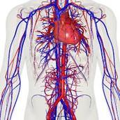 The circulatory system.
