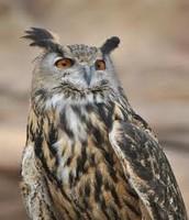 Pet Owl