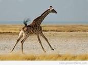 giraffe sprinting