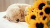 Labrador (puppy)