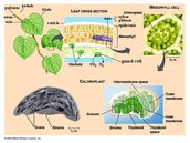Function of Chloroplast