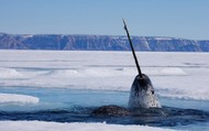 A narwhal