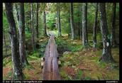 Maine's Pine woods