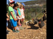 We visited the CLU  garden & they have chickens!