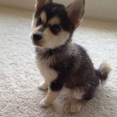 This is one of the puppies I have for sale!