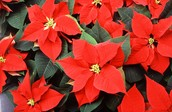 Poinsettia Fundraiser due by Monday, November 30th