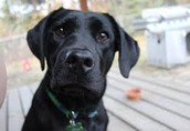 Mastiff Black Lab