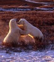 Two polar bears playing.