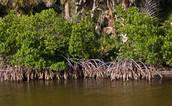 Mangrove Tree Plant